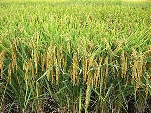 Reducing Arsenic Accumulation In Rice Grains