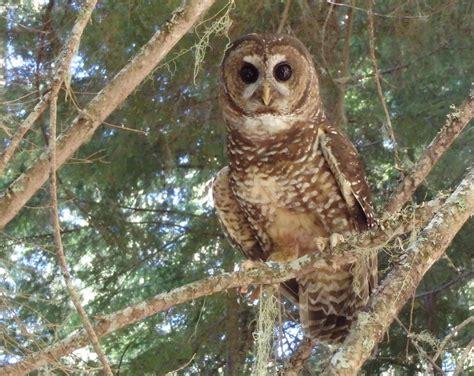 Model Explains Barred Owls' Domination Over Northern