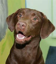 Chocolate Lab Female Dog Names