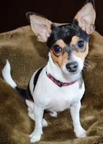 rat terrier info temperament care puppies pictures