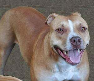 Red Nose Pitbull Female   www.imgkid.com - The Image Kid ...