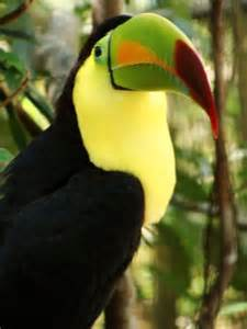 Endangered Toucans in the Rainforest