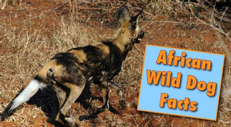African Wild Dog Facts Information From Active Wild