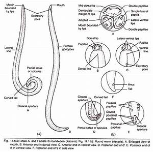 Morphology of Roundworm (With Diagram)