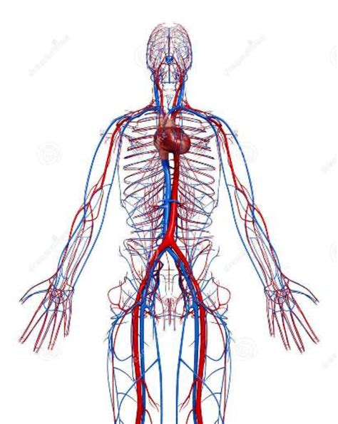 medifit biologicals cardiovascular system heart blood