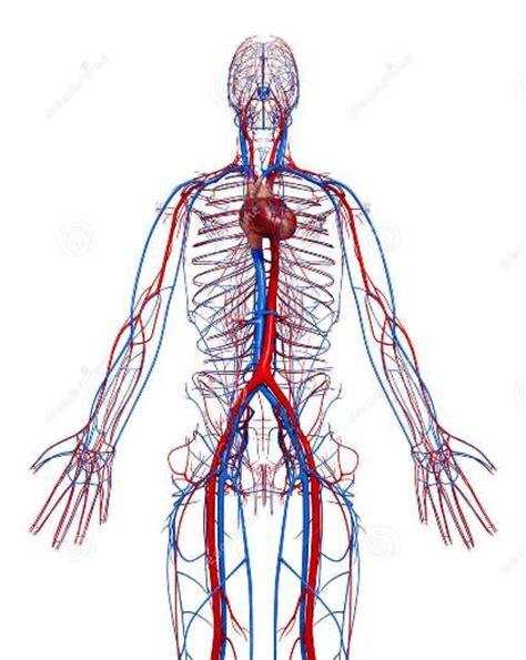 Medifit Biologicals  Cardiovascular System (heart & Blood Vessels