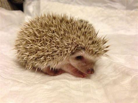 pygmy hedgehog african pygmy hedgehog babies livingston west lothian pets4homes
