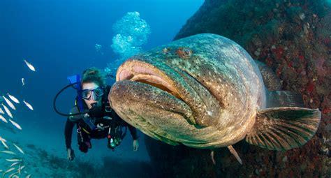 goliath groupers diver scuba florida