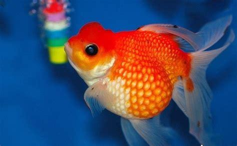 goldfish breeds quora