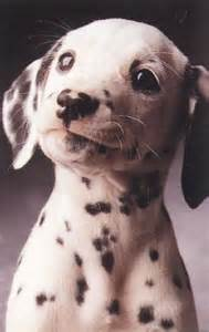 Cute Dogs Dalmatian Puppies
