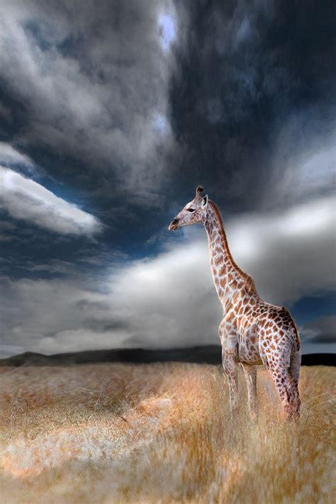 wildlife photography animals kingdom giraffe storm