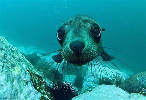cute pup australian fur seal arctocephalus pusillus