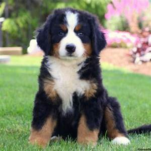 Bernese Mountain Dog Puppies For Sale | Greenfield Puppies