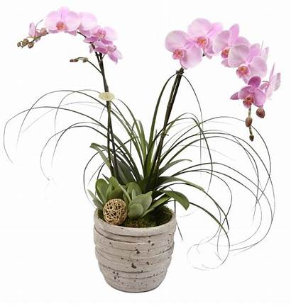 Orchid Plant Flowers Delivery Gift Tuscan Plants