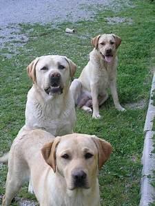 Labrador mancare