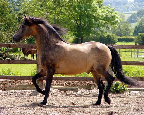 morgan buckskin horse horses sooty stallion breeds colors dun breed bay most expensive pretty don pony morgans farm dapple history