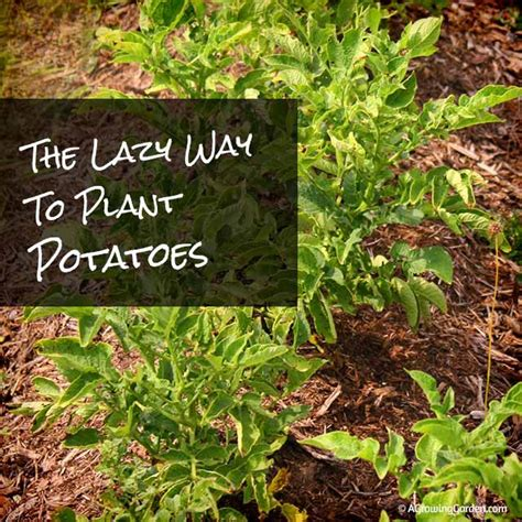 how to potatoes from garden the lazy way to plant potatoes