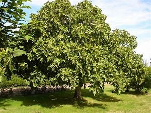 Planter Un Figuier : acheter figuier noire de caromb pas cher ljds ~ Melissatoandfro.com Idées de Décoration