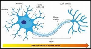 Neuroscience Basics  The Neuron