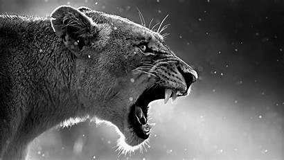 Lion Roaring Wallpapers Roar Animals King 4k