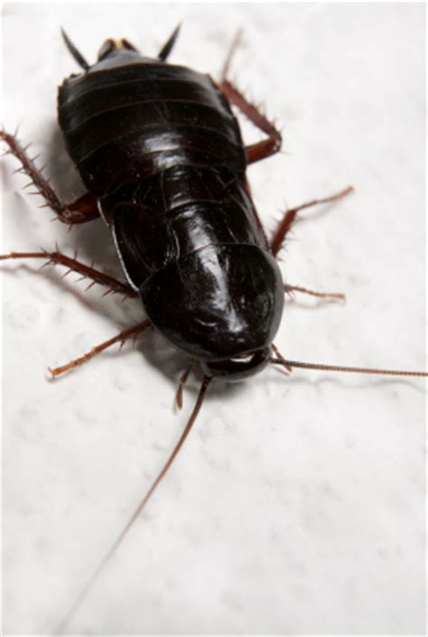non chemical roach pestmall