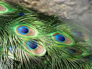 The White Peacock: Beautiful peacock feathers