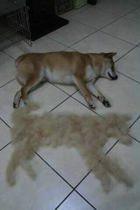 tis the season to be shedding one dog owner s picture