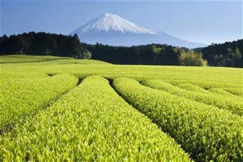 growing  producing tea growing tea howstuffworks