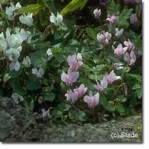 Alpenveilchen Im Garten : stauden stade versand shop cyclamen hederifolium 39 rosenteppich 39 garten herbst alpenveilchen ~ Orissabook.com Haus und Dekorationen