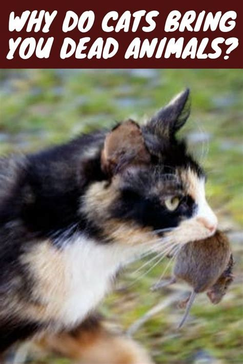 Why cats bring dead animals