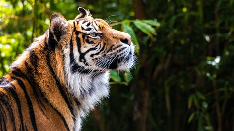 Tiger Photo by Tech For Tigers Wwf And Intel Test Ai Technology For