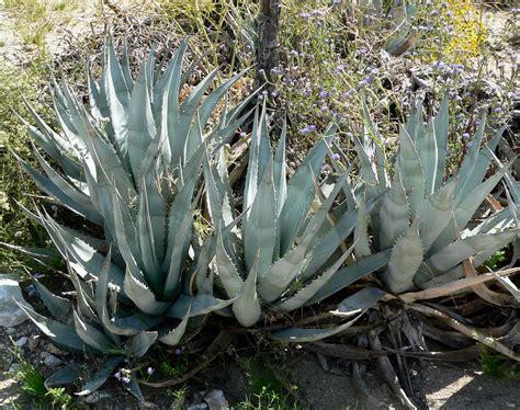 File:Agave deserti 2.jpg - Wikimedia Commons