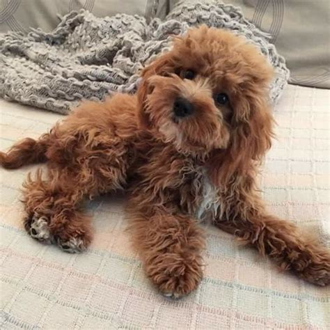 1000 ideas about cavapoo dogs on cavapoo puppies king charles and cavapoo puppies