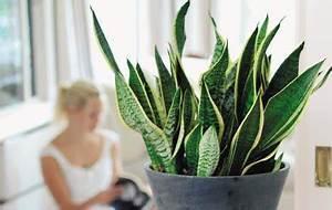 Pflanzen Für Gesundes Raumklima : gesundes raumklima mit zimmerlinde birkenfeige gr nlilie co zimmergarten das haus ~ Indierocktalk.com Haus und Dekorationen