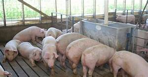 Making Asphalt From Swine Manure