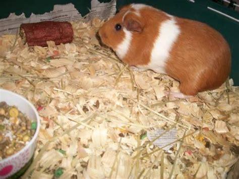 guinea pigs  sale  sale  berne indiana