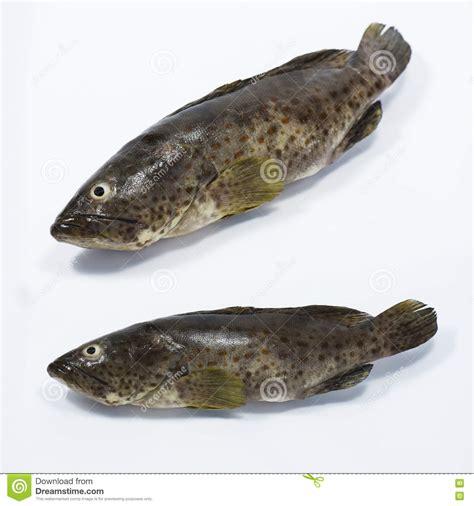 grouper fish fresh