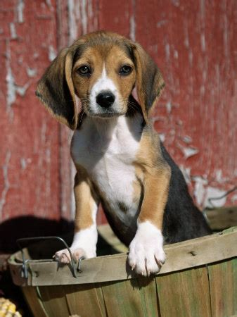 cute dogs beagle dog