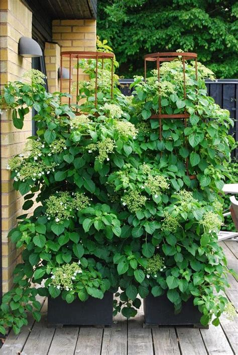 climbing plants for shade in pots 365 healthy days 24 best vines for containers climbing plants for pots 365 healthy days