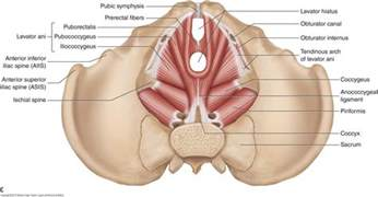 pelvic floor muscles female learn muscles