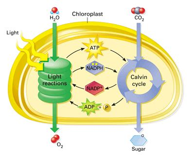 Why Does Darkness Affect The Light Independent Reactions Of Photosynthesis by Why Is The Calvin Cycle Referred Fo As A Reaction