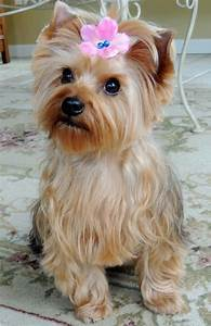Puppy Love - Bella The Morkie… She's a 2 year old cross ...
