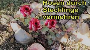 Gartenhibiskus Vermehren Stecklinge : rosen aus stecklingen selber ziehen rosenstecklinge ~ Lizthompson.info Haus und Dekorationen
