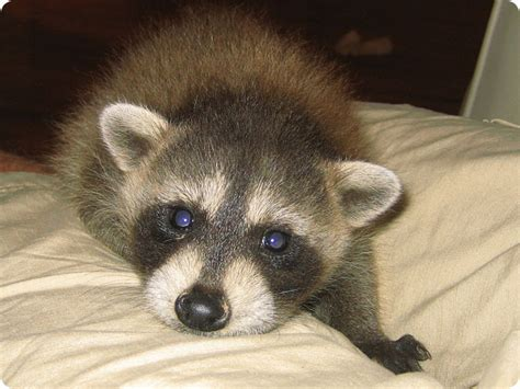 raccoons as pets pet raccoon where to find a pet raccoon breeder