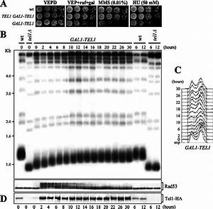Ectopic Tel1 Overexpression Leads To Telomere Elongation