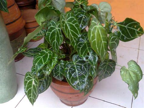 bibit tanaman hias kuping gajah berbagai jenis dan ciri ciri tanaman hias bibitbunga