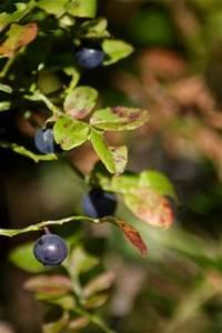 Heidelbeeren Pflanzen Zeitpunkt : heidelbeere blaubeere haushalts und gartenlexikon ~ Orissabook.com Haus und Dekorationen