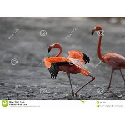 Caribbean Flamingo (Phoenicopterus Ruber) Royalty Free