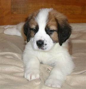 Saint Bernard — Not In The Dog HouseNot In The Dog House