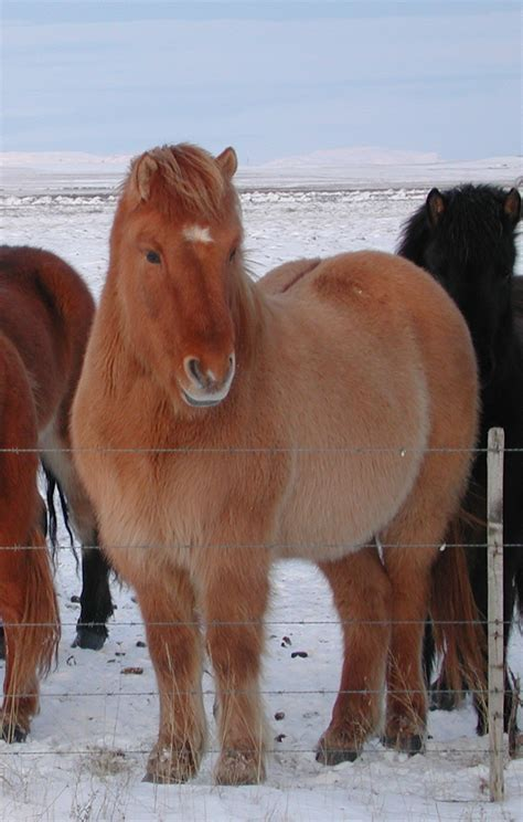 horse dun icelandic horses pony commons little wikimedia wikipedia wiki